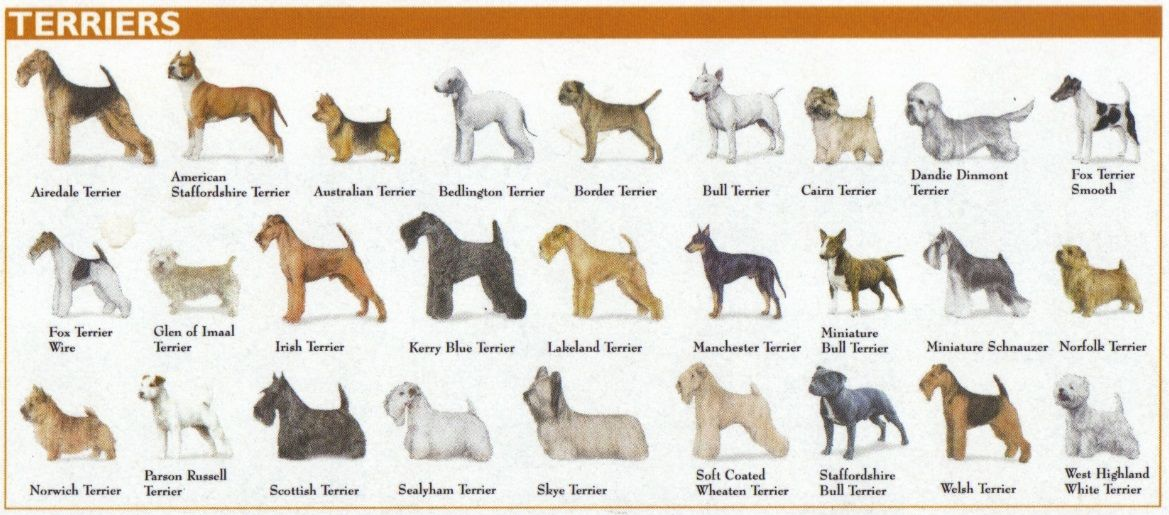 terrier breeds chart Google Search Purebred dogs, Dog