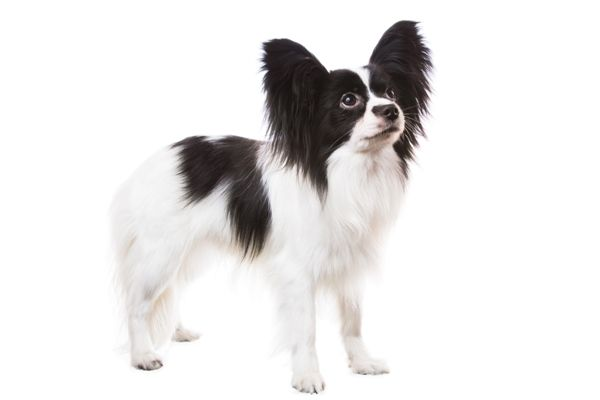 Papillion | Best pet insurance, Dog breeds, Dog portraits