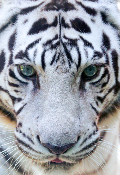 Johnnybravo20 White Tiger Face By Mark Dumont White Tiger Tiger Face Wild Cats