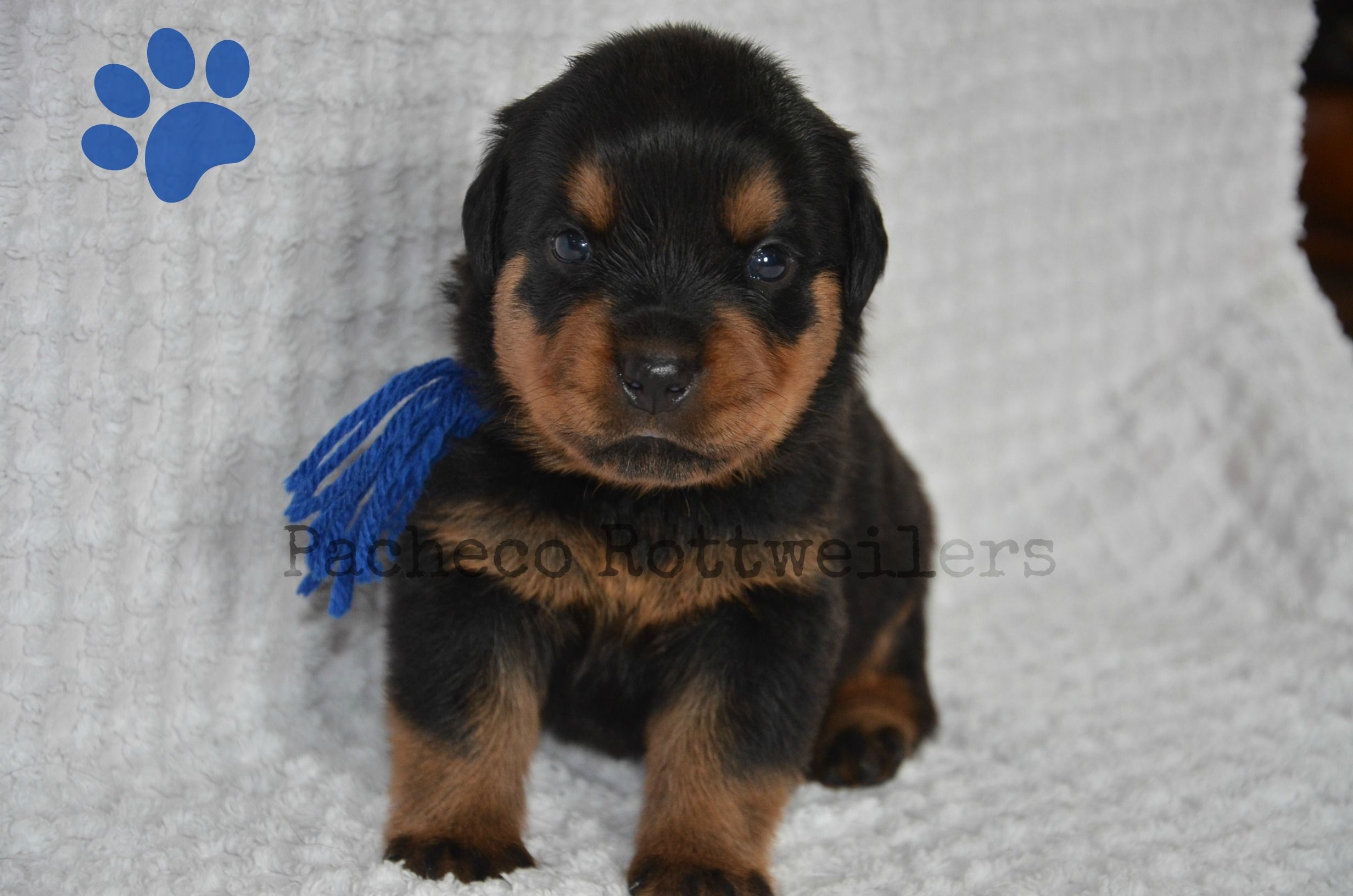 Blue Male 2 Weeks Old Puppies Pets Animals