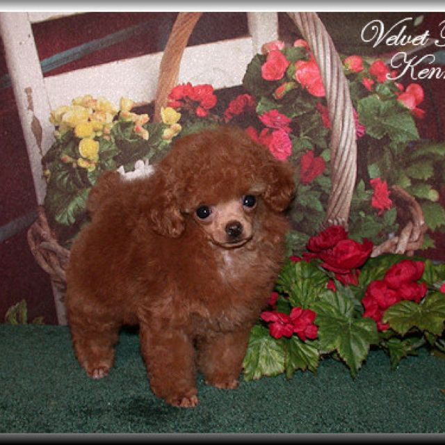 Red Teacup Poodle Looks Like Fifi Off Open Season 2 Cept Fifi Was