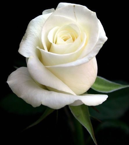 White rose flores pinterest rose flowers and flower white rose flower meaningwhite rose flower white rose symbolic white flowers white rose meaning without vibrant color to upstage it mightylinksfo Images