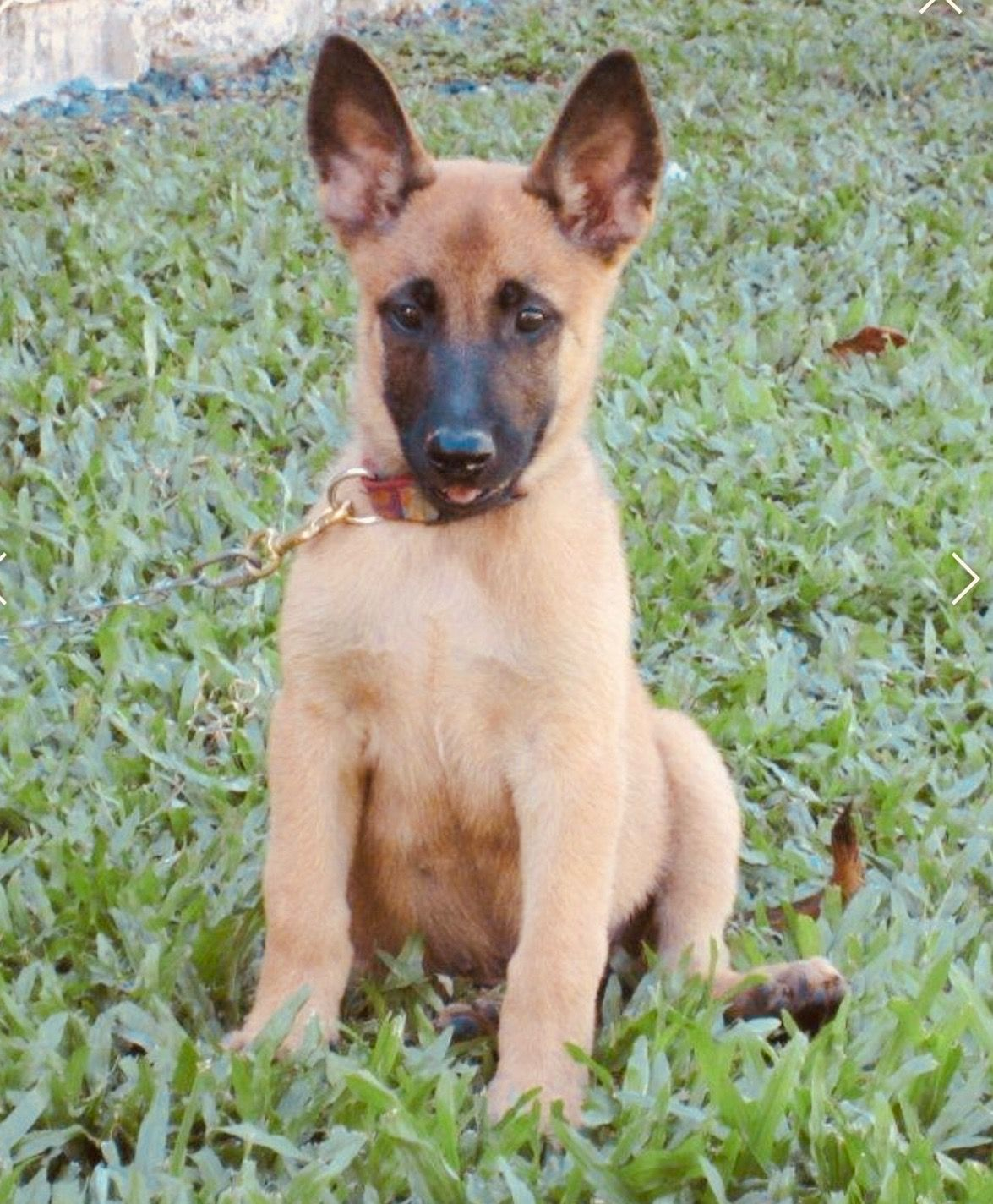 Belgium Malinois Puppy Sable With Black Mask Www Wolfsbanek9 Com Belgian Malinois Puppies Malinois Puppies Malinois Dog