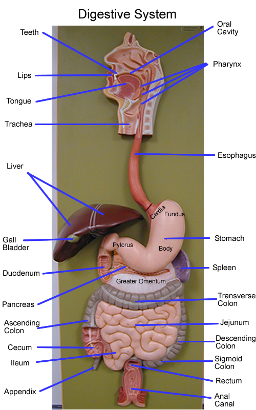 digestive system model - Google Search | Anatomy/Physiology ...