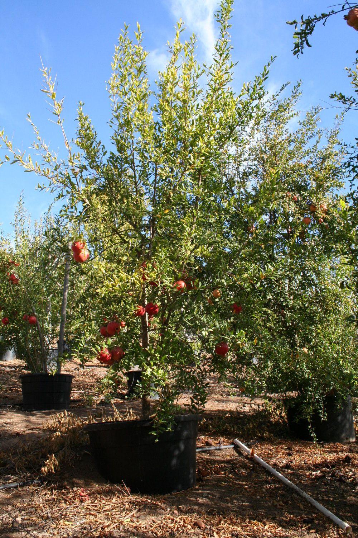 Pomegranate California Tropical Fruit Tree Nursery Fruit Tree Nursery Fruit Trees Pomegranate