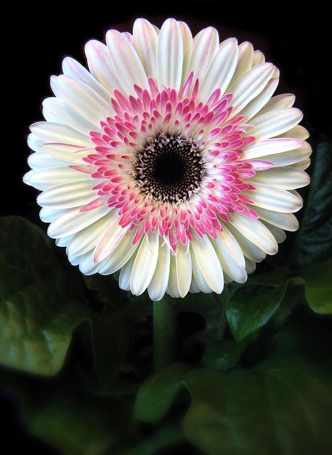 Gerbera | Blumen, Gerbera und Natur