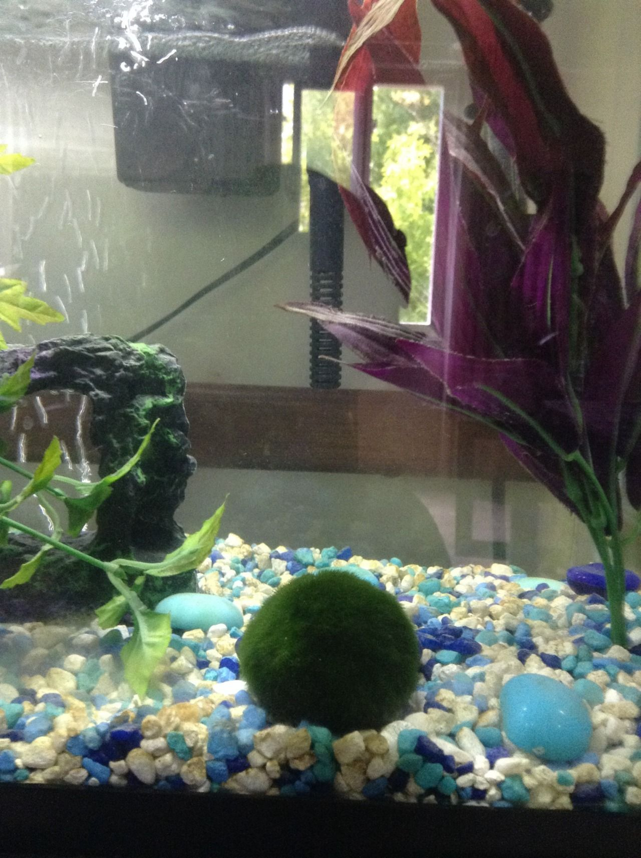 i just got my marimo today he is currently in a 10 gallon tank at
