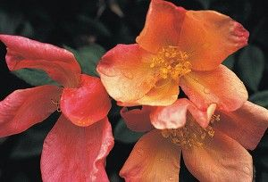 Mutabilis A Beautiful And Unusual China Rose Pointed Buds Open Into Single 3 Blooms Petals 5 Which Go Through A Myriad Of Col Heirloom Roses Rose Flowers