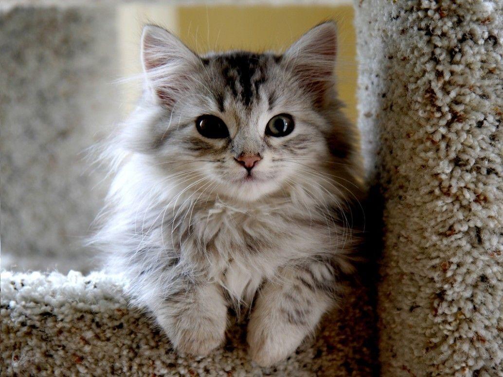 11 Cute Siberian Munchkin Cat Pictures In 2020 Siberian Cat Cat Breeds Hypoallergenic Cats
