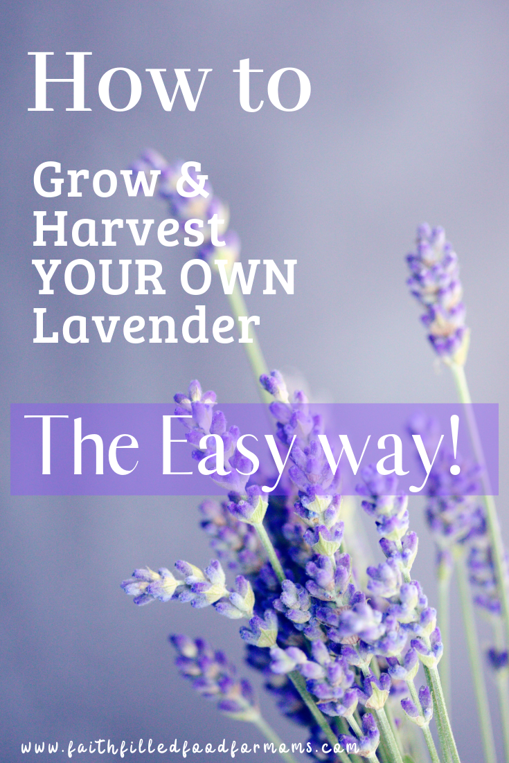Growing And Harvesting Your Own Lavender Is So Easy You Can Grow Lavender Anywhere Really It S Perfect Growing Lavender Organic Gardening Tips Lavender Plant