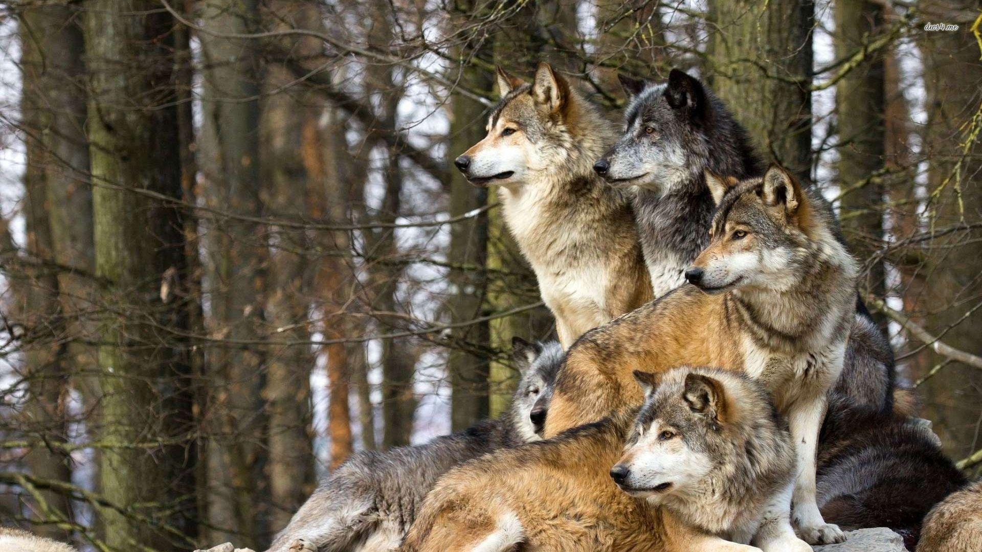 White Wolves Pack HD Desktop Wallpaper for K Ultra HD TV