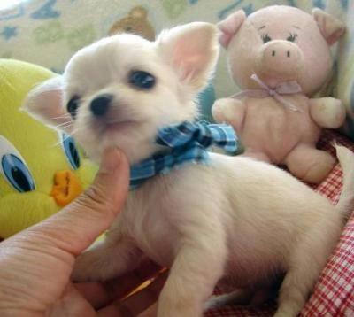 <3...Tiny Chihuahua! - so sweet!