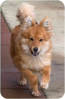 Pally Adopted Puppy Sacramento Ca Pomeranian Australian Shepherd Mix Super Cute Puppies Pets Puppies