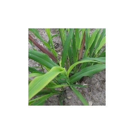 Graines de palmarosa à planter (Cymbopogon martini) | Planter des graines, Plante herbacée et ...