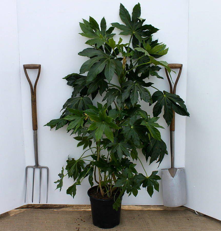 Fatsia Japonica Home Wish List Pinterest Plants