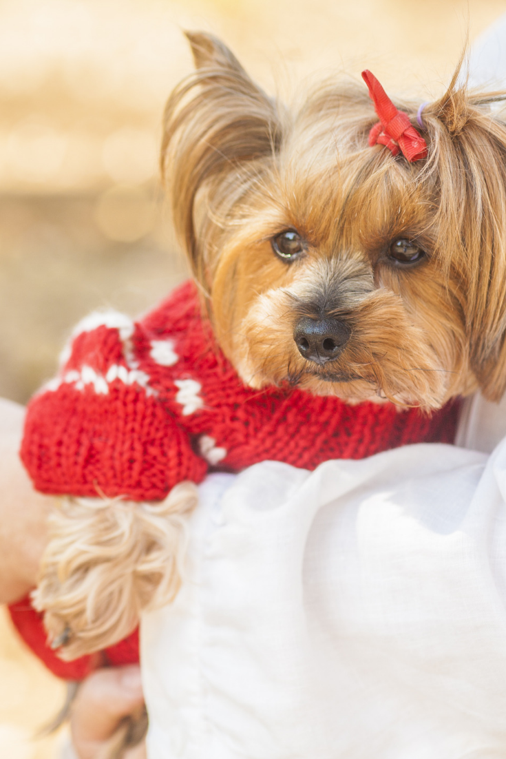 Yorkshire Terrier Dog In Red Chinese Clothes Isolated On White Yorkshireterrier Yorkshire Terrier Dog Terrier Breeds Yorkshire Terrier