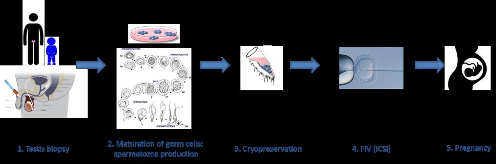 #OKILAB te muestra:  Posible creación de espermatozoides in vitro beneficiaría la fertilidad masculina via Isabelle Canes-Cuoc. Kallistem