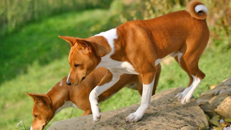 Basenji: 15 facts you need to know