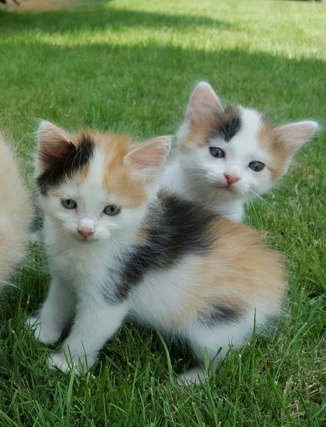Perovskia Siberian Calico Kittens 6 Weeks Old Www Lowallergencats Com Kittens Cutest Animals Cats And Kittens