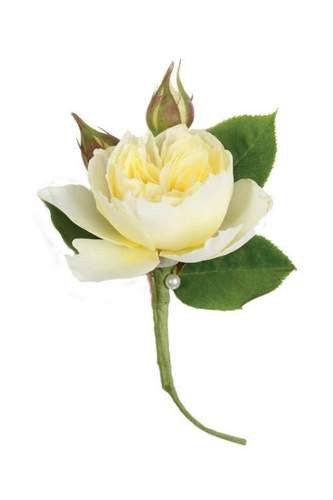 White Garden Rose Boutonniere   Something Like This For Groom?
