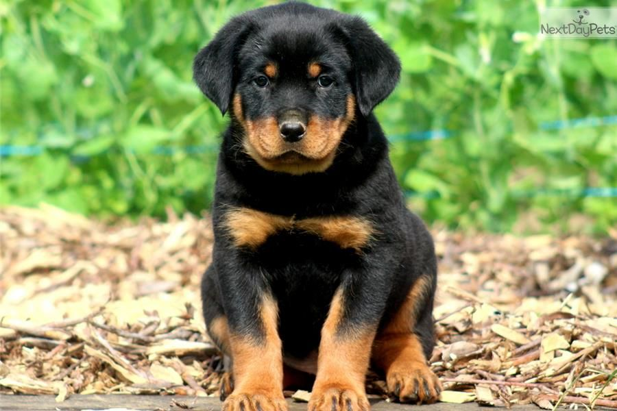 You Ll Love This Male Rottweiler Puppy Looking For A New Home