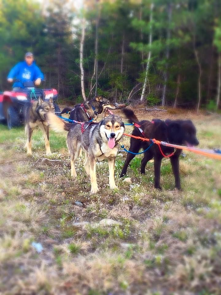 What Do Dog Sled Teams Due To Prepare Learn All About Alaskan