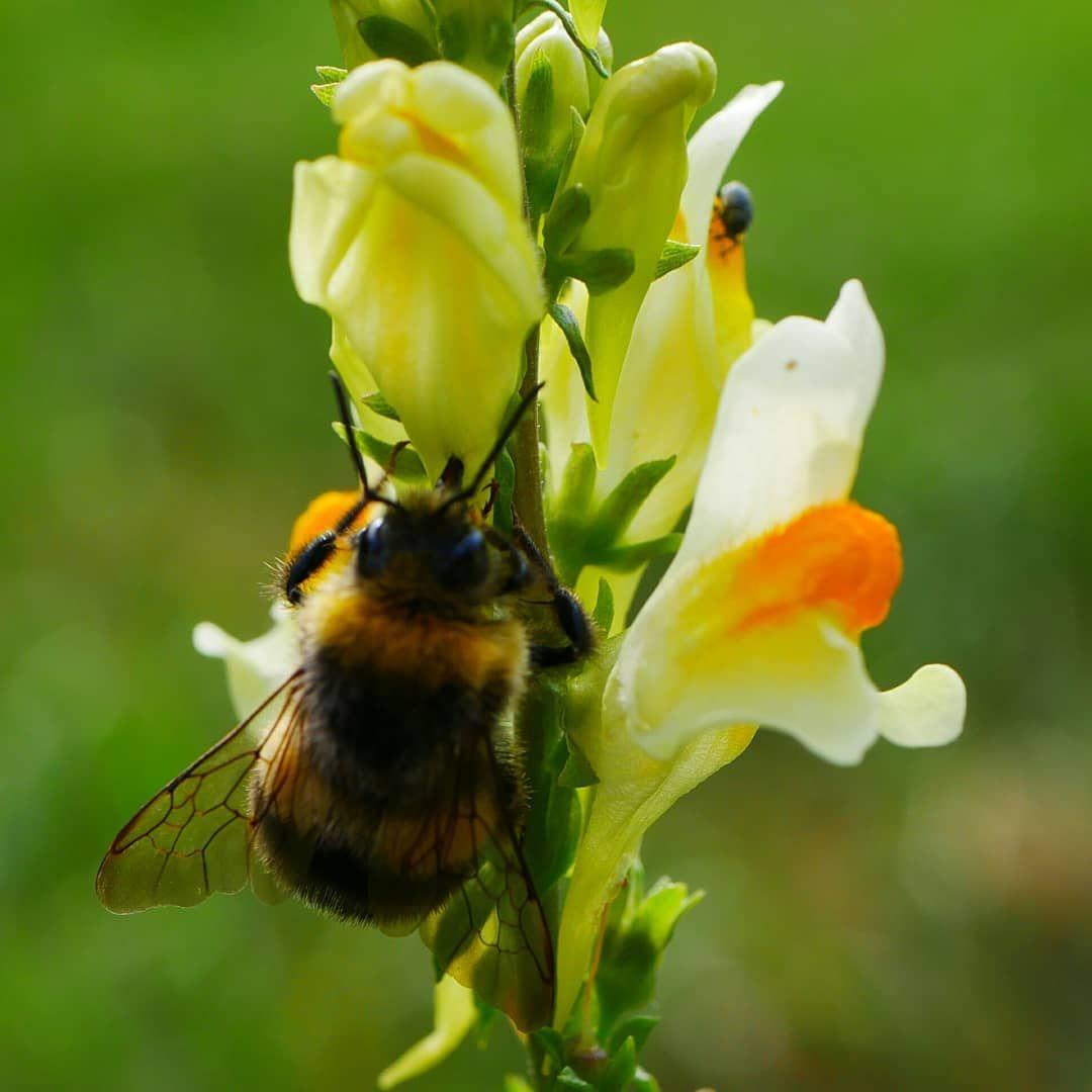 Die Lowenmaulchen Am Wegesrand Sind Gut Besucht Lumixg81 Lowenmaulchen Blumenwiese Naturephotography Hummel Blumen Wildblumenwiese Animals Bee