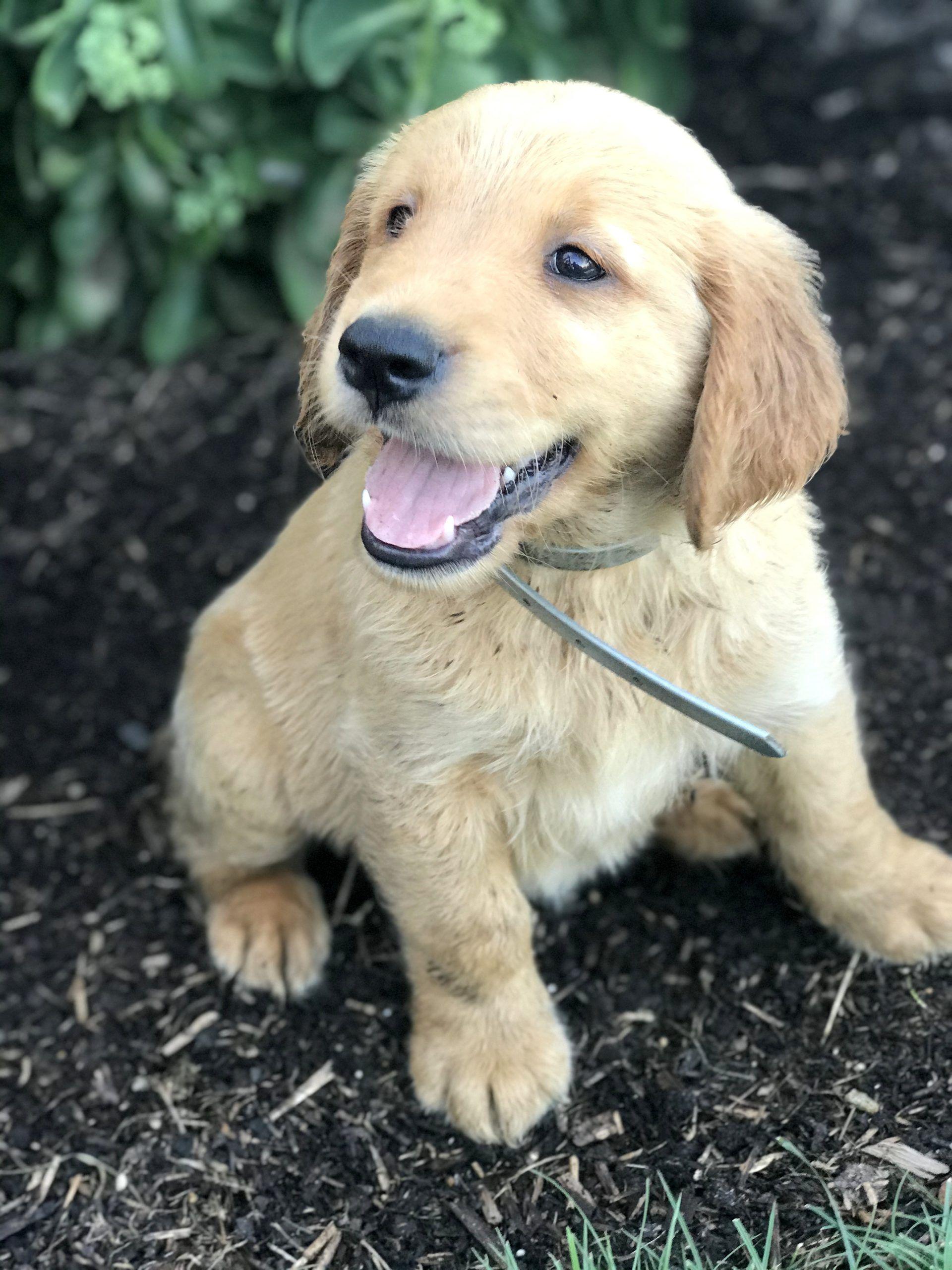 Felix Male Golden Retriever Puppy In 2020 Golden Retriever Golden Retriever Puppy Puppies