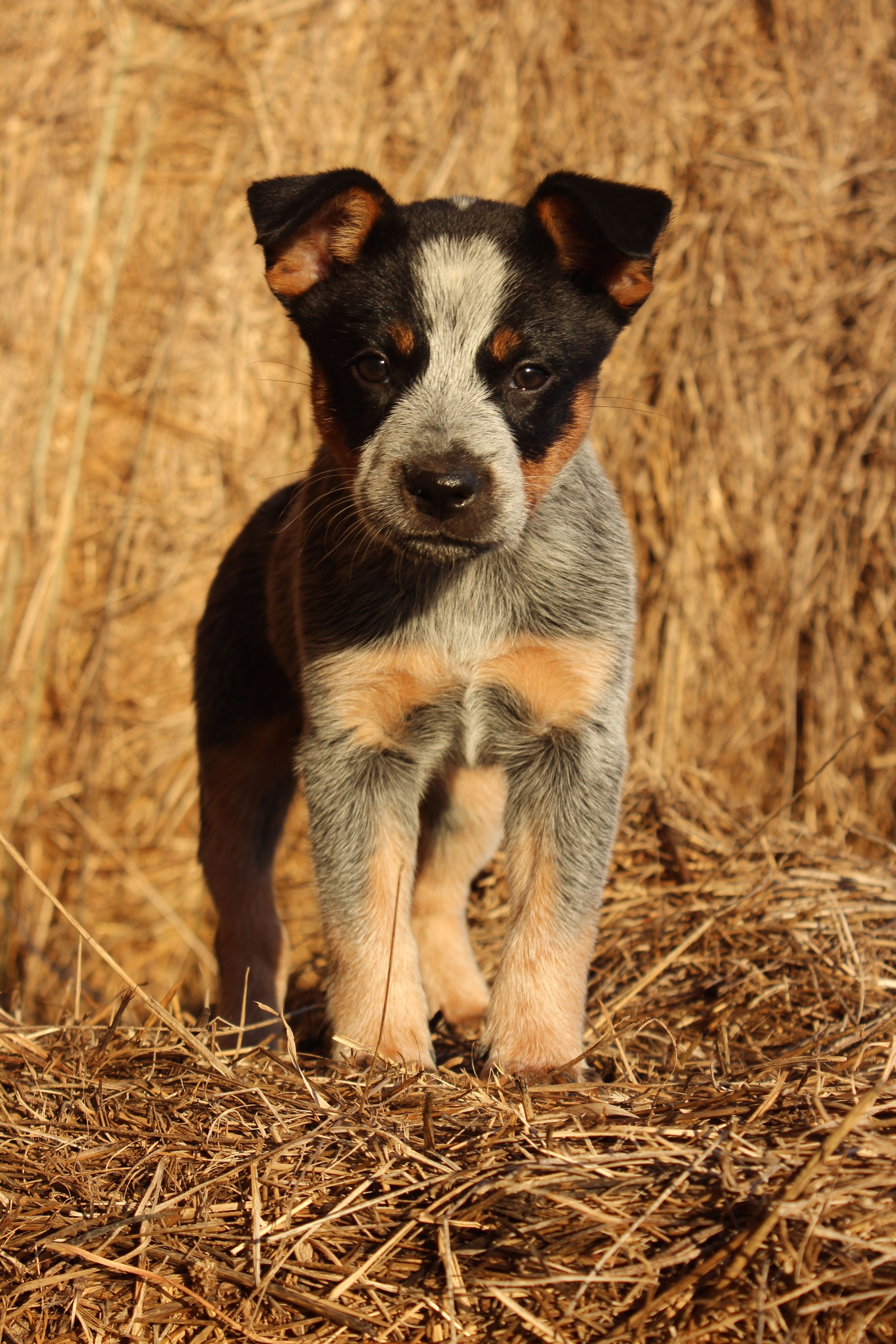 Blue Heeler's are the best puppies and so loyal! We love