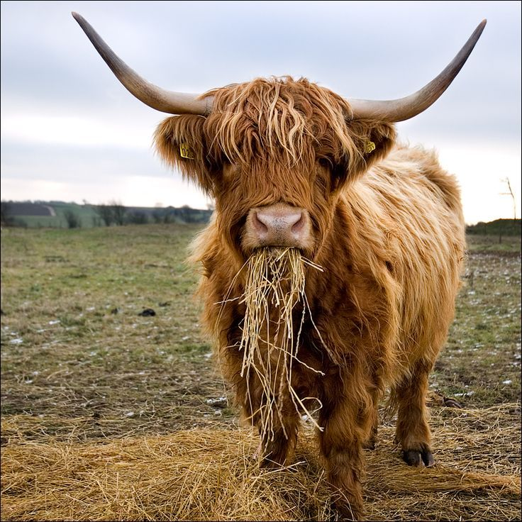 Highland Cattle on Pinterest | Scottish Highlands, Cattle ...