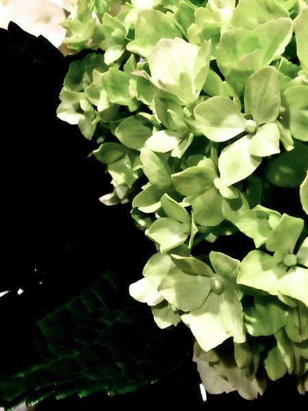 Green - Hydrangea