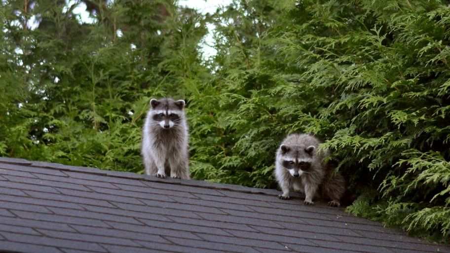 How To Get Rid Of Raccoons On My Porch