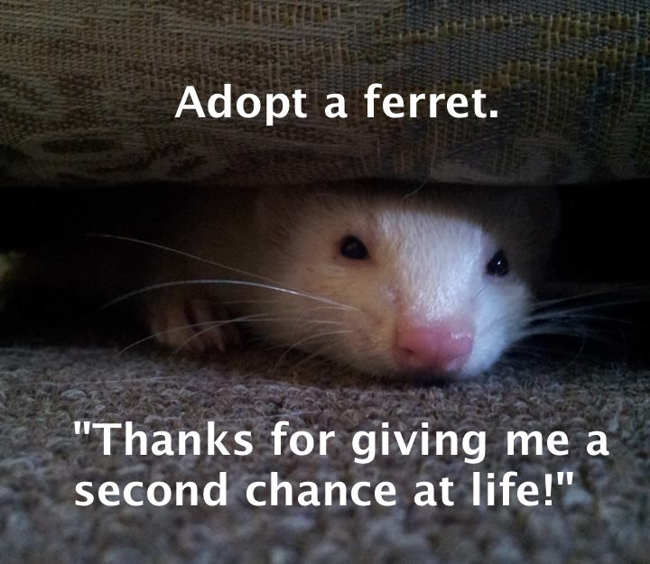 Abandoned Kitten Taken In By Ferrets Is Convinced Shes A Ferret - Rescued kitten adopted by ferrets now thinks shes a ferret too