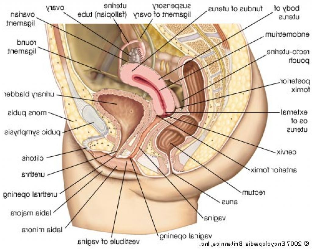 medical anatomy of the female reproductive system - Google Search ...