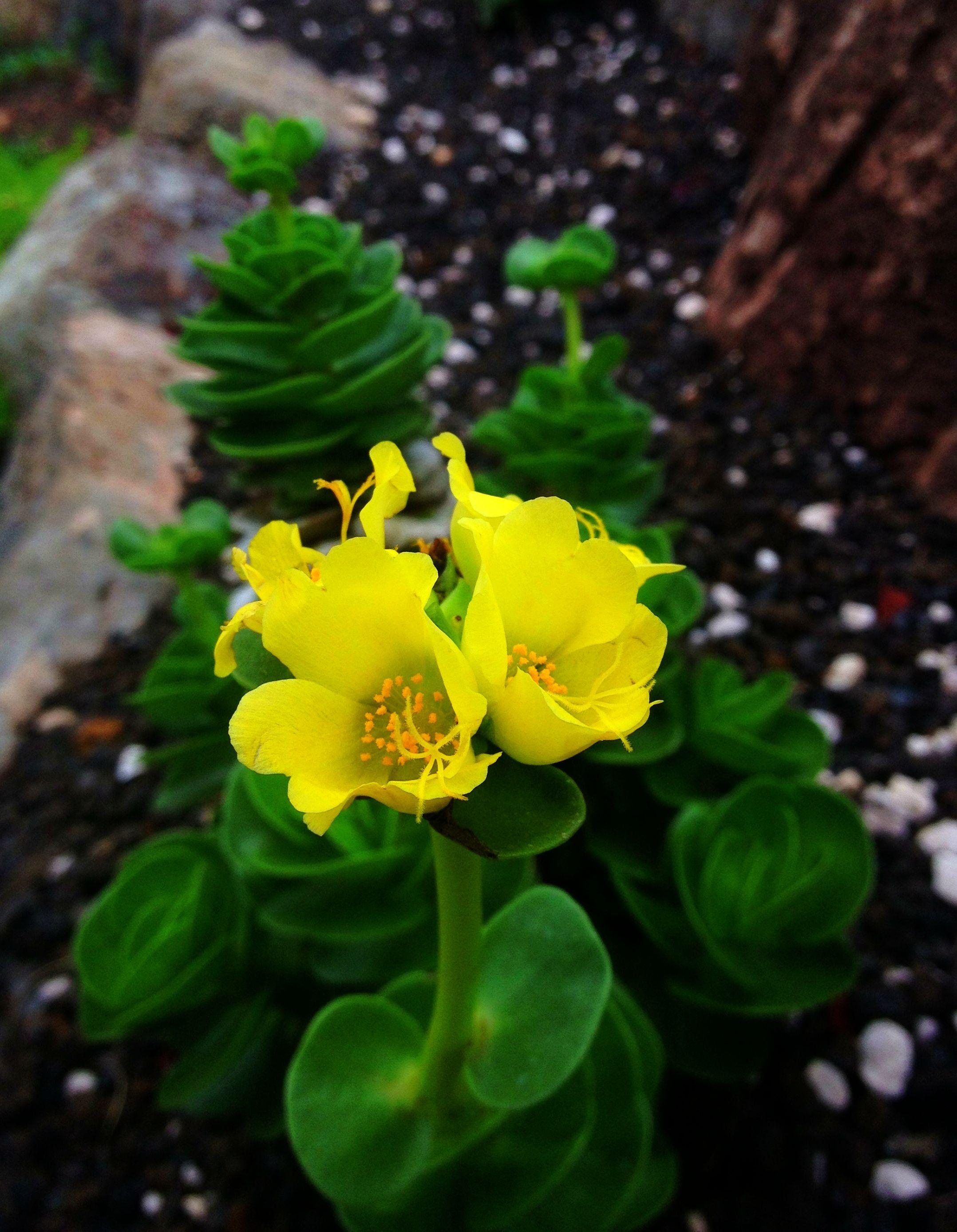 Ihi Portulaca Molokiniensis Hawaiian Native Plants Pinterest