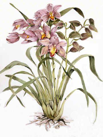 Cymbidium Botanical Art Flower Art Watercolor Flowers