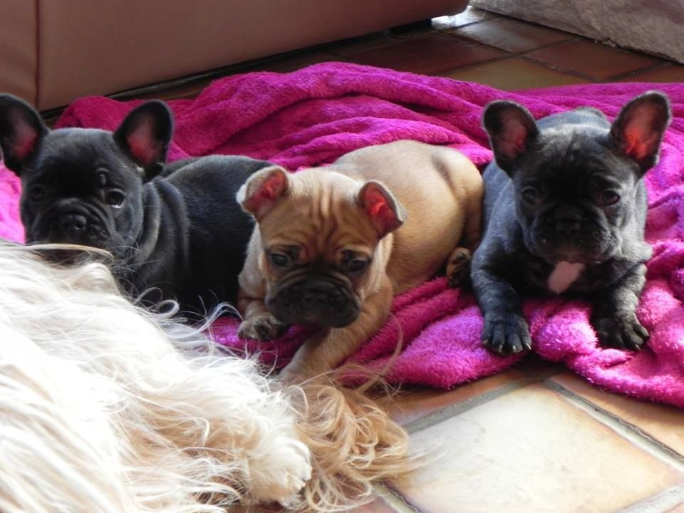 Our Red Fawn Frenchie With It S Two Brothers Brindle As Father