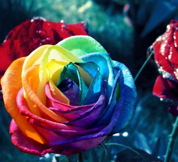 Rose Multicolore Fleurs Fleurs Arc En Ciel Rose Et Fleurs