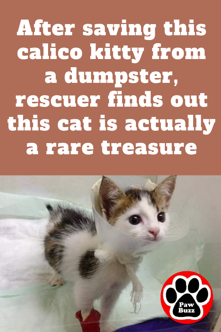 After Saving This Calico Kitty From A Dumpster Rescuer Finds Out This Cat Is Actually A Rare Treasure Mastiff Puppies Bull Mastiff Puppies Cats