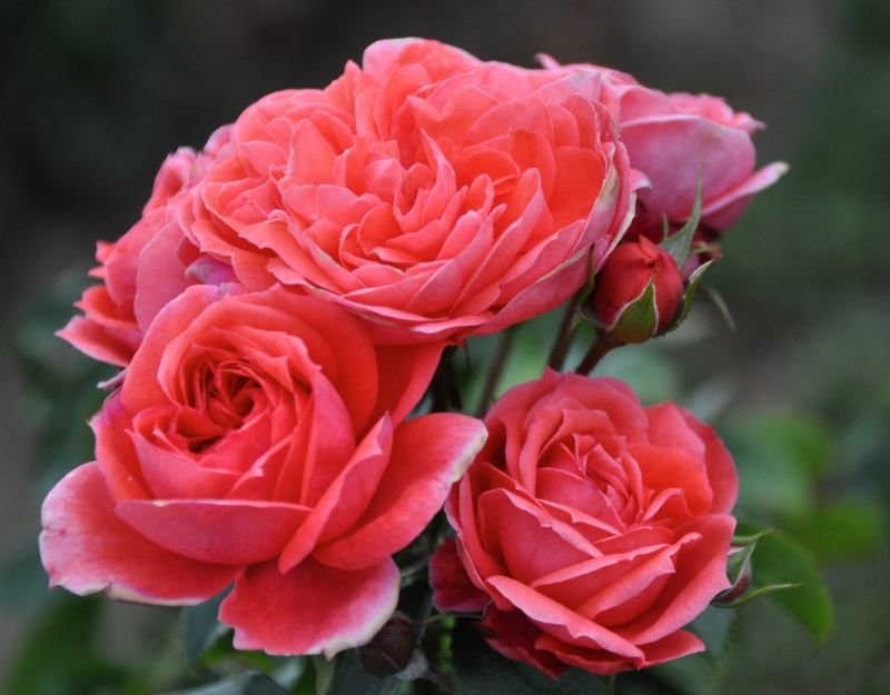 Jolie Veranda (Palatine Roses)