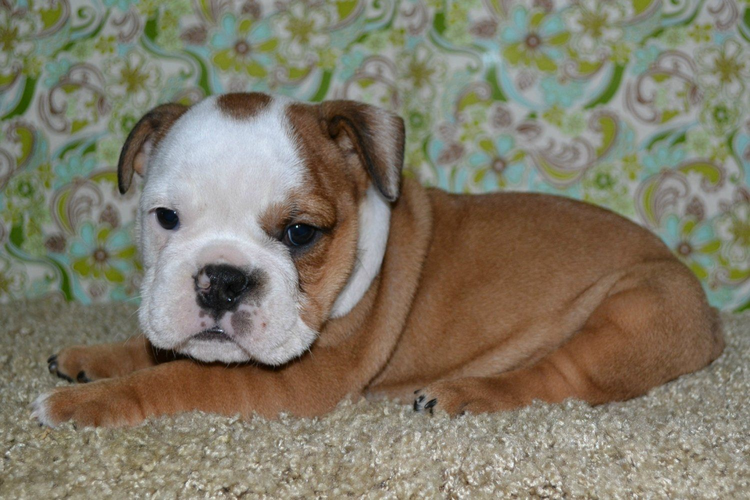 American Bulldog Bulldog Puppies American Bulldog Puppies