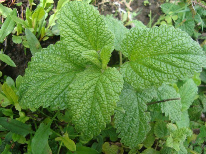 22 plantas medicinales que podemos cultivar en casa for Planta decorativa con propiedades medicinales