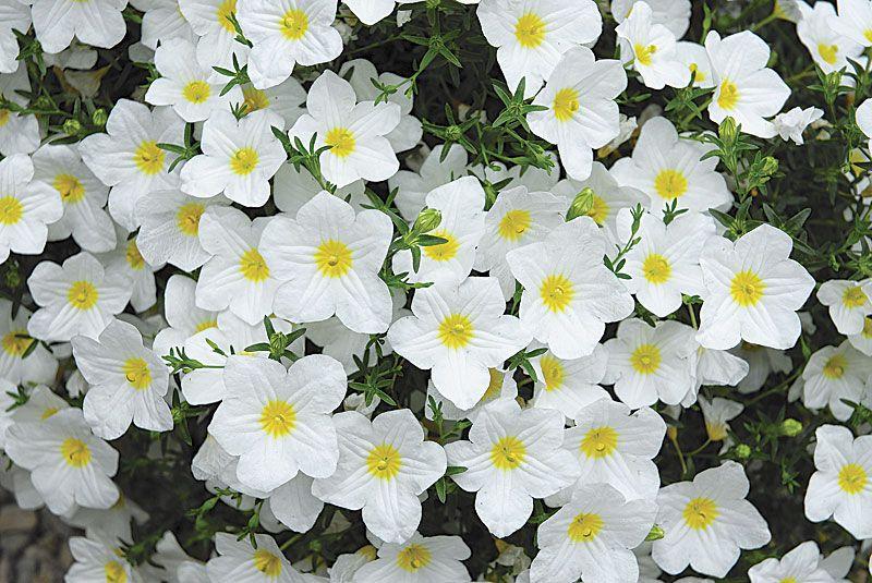 Lara white cup flower nierembergia is wonderful in pots or beds lara white cup flower nierembergia is wonderful in pots or beds it mightylinksfo Gallery