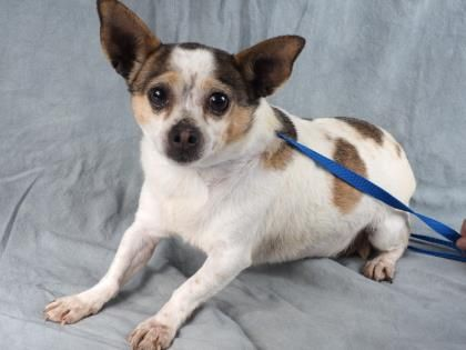 Petango Com Meet Skittles A 3 Years 6 Months Chihuahua Short Coat Available For Adoption In Colorado Springs C Small Dog Adoption Cute Chihuahua Chihuahua