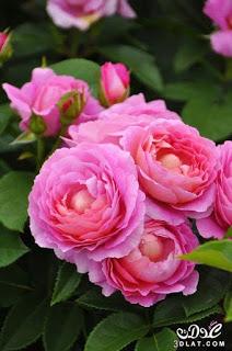 صور ورود 2020 اجمل صور زهور احلى صور ورود جميلة زينه Beautiful Flowers Beautiful Roses Hybrid Tea Roses