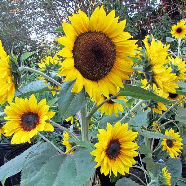 Orange Hobbit Dwarf Sunflower Bushy Dwarf Plants Grow 1 To 2 Ft Tall The Main Flower Grows To Nearly 8 Inches Across Plants Dwarf Plants Dwarf Sunflowers