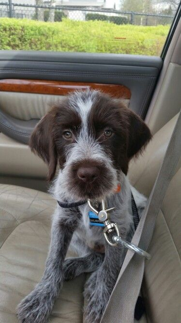 Murphy The Wirehaired Pointing Griffon Puppy In The Car 9 Weeks Old Cute Dogs Images Puppies Griffon Dog