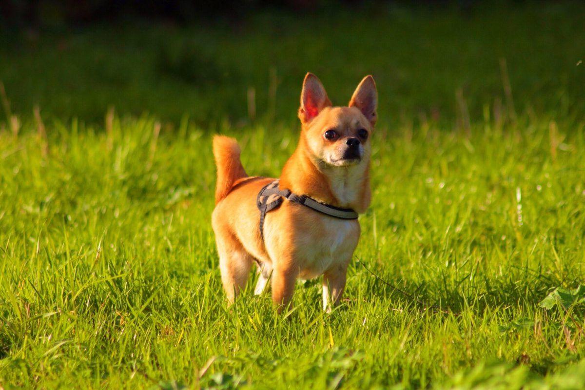 Chihuahua Temperament Personality Pets Dogs Chihuahua