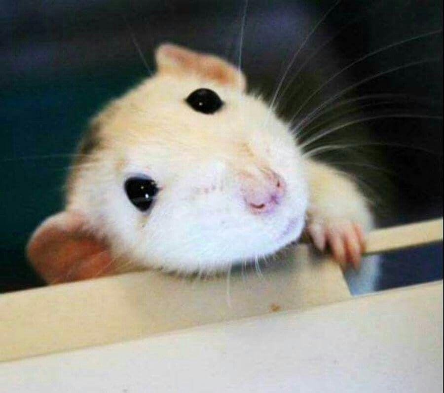 Love Me I Do Cute Animals Pet Rats Cute Rats