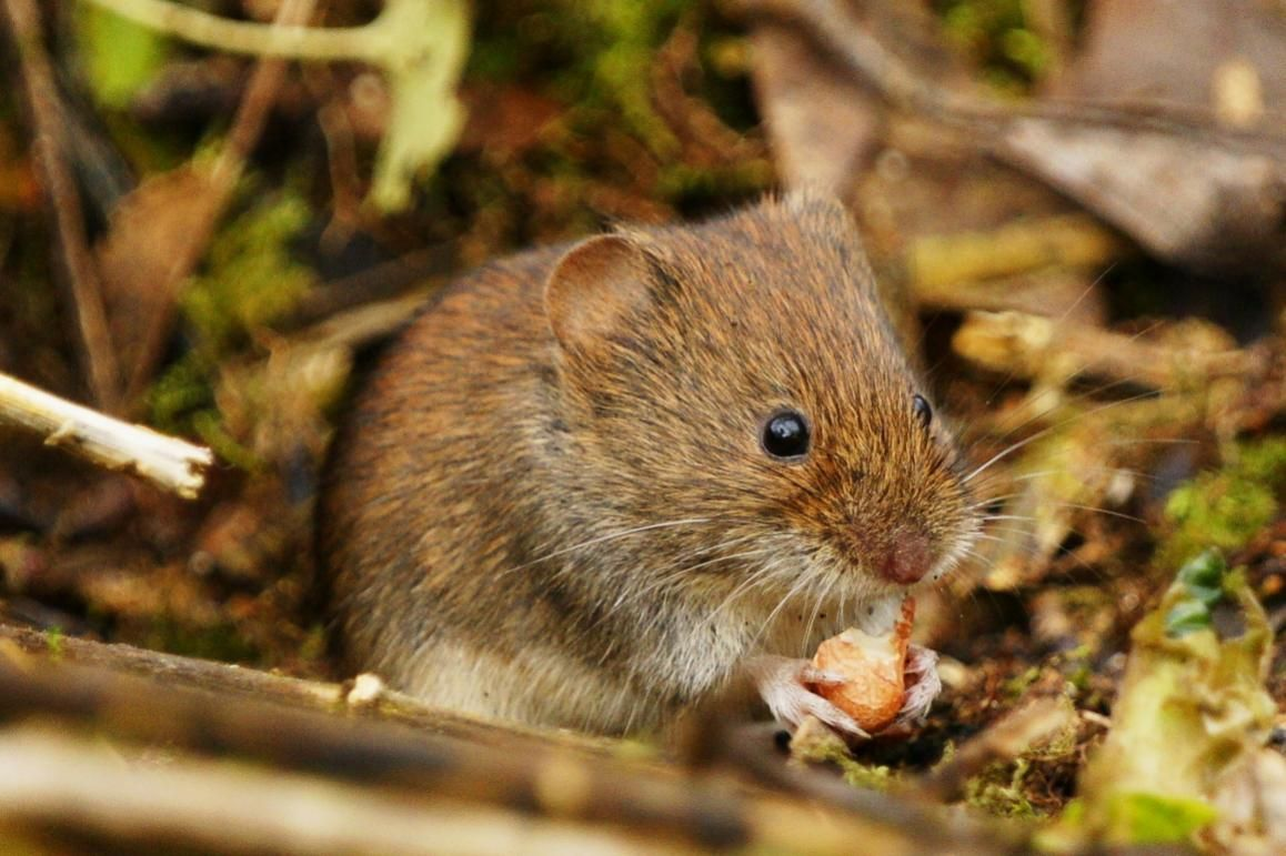 field vole field vole taken today in north hampshire rodents